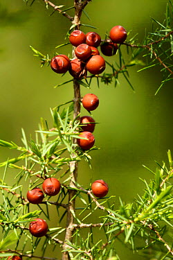 Prickly Juniper berries (Juniperus oxycedrus) Spain  -  Jose B. Ruiz/ npl