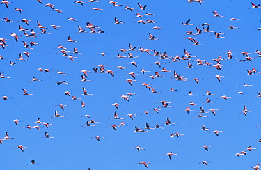 Chilean Flamingo (Phoenicopterus chilensis) flying at start of migration, Argentina  -  Gabriel Rojo/ npl