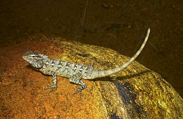 Changeable Lizard (Calotes versicolor) female on rock in tropical dry forest, Sri Lanka  -  Premaphotos/ npl