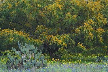 Wildflower field with Texas Prickly Pear Cactus (Opuntia lindheimeri) Huisache tree (Acacia farnesiana) Squaw Weed (Senecio ampullaceus)Texas Bluebonnet (Lupinus texensis),Three Rivers, Live Oak Count...  -  Rolf Nussbaumer/ npl