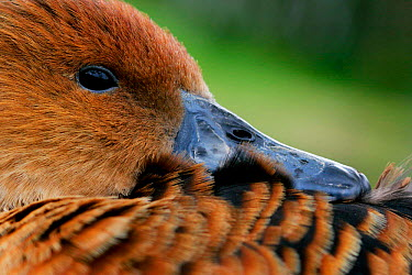 Fulvous Whistling Duck (Dendrocygna bicolor) close-up resting head on back, captive, Somerset, United Kingdom  -  John Waters/ npl