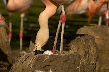 Chilean Flamingo (Phoenicopterus chilensis) tending egg on nest, WWT, Slimbridge, United Kingdom  -  Dave Watts/ npl