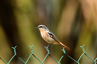 Eversmann's redstart (Phoenicurus erythronotus) male on fence, Musandam, Oman  -  Hanne & Jens Eriksen/ npl