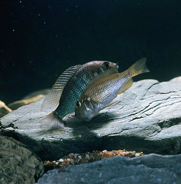 African mouthbrooder (Haplochromis burtoni) female trying to pick up dummy-eggs on male's anal fin as he sheds his milt and fertilises the eggs that she is carrying in her mouth, captive, from Lake Ta...  -  Jane Burton/ npl