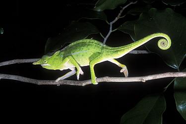 Petter's Chameleon (Furcifer petteri) walking along branch, Ankarana Special Reserve, Madagascar  -  Jouan & Rius/ npl