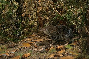 Pygmy Shrew (Sorex minutus) Captive United Kingdom  -  Andy Sands/ npl