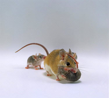 Arabian Spiny Mouse (Acomys dimidiatus) mother carrying her 3 day old baby  -  Jane Burton/ npl