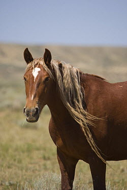 Wild horse, mustang sorrel mare with long mane in long dreadlocks, McCullough Peaks, Wyoming, USA  -  Carol Walker/ npl