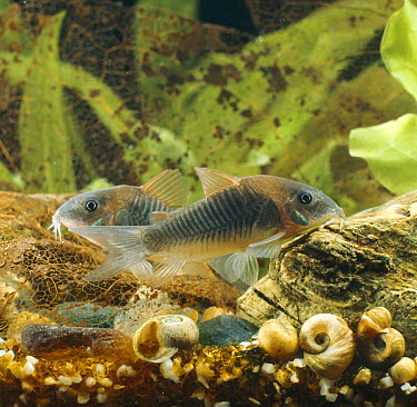 Bronze armoured catfish (Corydorus aeneus) captive, from South America  -  Jane Burton/ npl