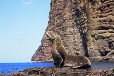 Juan Fernandez fur seal, Juan Fernandez NP, Robinson Crusoe Is, Chile (Arctocephalus  -  Luiz Claudio Marigo/ npl