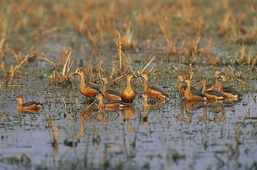 Indian, Lesser whistling ducks (Dendrocygna javanica) Keoladeo Ghana NP, Bharatpur, Rajasthan, India  -  Jean-pierre Zwaenepoel/ npl