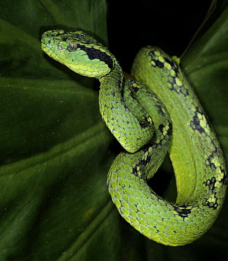 Guatemalan Palm Viper (Bothriechis aurifer) captive, from Mexico and Guatemala  -  Michael D. Kern/ npl