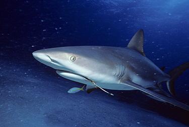 Caribbean Reef Shark (Carcharhinus perezi) wounded with fish hook, Yellowtail Snapper(Ocyurus chrysurus), Bahamas, Caribbean Sea  -  Jeff Rotman/ npl