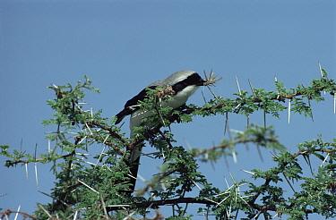 Great Grey Shrike (Lanius excubitor) impaling grasshopper on Accacia thorn, larder, Kenya  -  Mike Wilkes/ npl