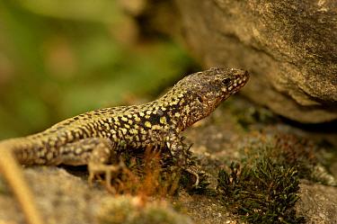 Common Wall Lizard (Podarcis muralis) France  -  Dave Watts/ npl