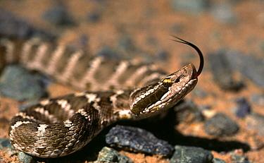 Brown mamushi snake (Agkistrodon saxatilis) the only venomous snake in Gobi Desert, Mongolia  -  Konstantin Mikhailov/ npl