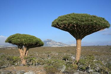 Dragon's blood tree (Dracaena cinnabari) Dieksum, Socotra Island, Yemen  -  Hanne & Jens Eriksen/ npl