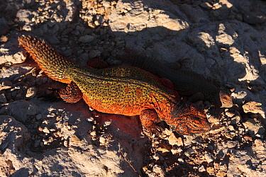 Spiny Tail Lizard (Uromastyx acanthinurus) on rocks in the High Atlas Mountains, Morocco  -  Juan Manuel Borrero/ npl