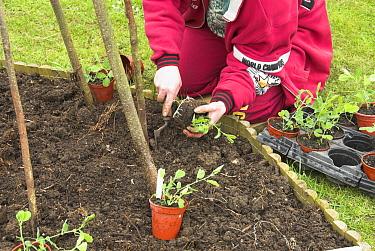 Planting out Sweet pea plants around a hazel stick wigwam, Norfolk, UK, April  -  Gary K. Smith/ npl