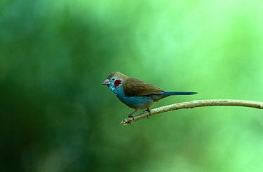 Red cheeked cordon bleu (Uraeginthus bengalus) Gambia  -  Mike Wilkes/ npl