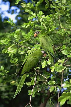 Blue-crowned Parakeet (Aratinga acuticaudata), Margarita Is, Venezuela  -  Luiz Claudio Marigo/ npl