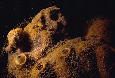 Sponge (Ectyoplasia ferox) covered with mucus containing eggs Bahamas  -  Doug Perrine/ npl