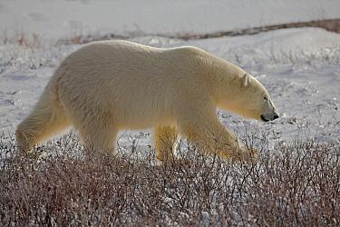 Polar Bear (Ursus maritimus) walking, Cape Churchill, Canada  -  T.J. Rich/ npl