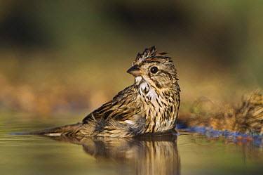 Lincoln's Sparrow (Zonotrichia, Melospiza lincolnii) bathing, Hill Country, Texas, USA  -  Rolf Nussbaumer/ npl