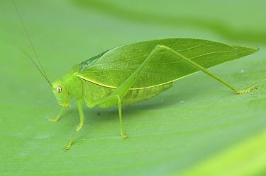 Katydid (Tettigoniidae) camouflaged on leaf, Costa Rica  -  Edwin Giesbers/ npl