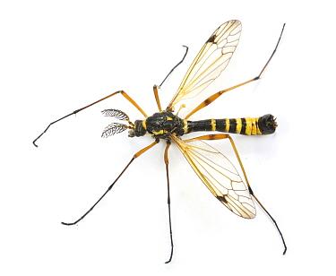 Comb-horn Cranefly (Ctenophora flaveolata) male, captive, UK  -  Kim Taylor/ npl
