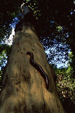 (Giant) millipede (Diplopoda) on tree, Madagascar Ankarana Special Reserve  -  Pete Oxford/ npl