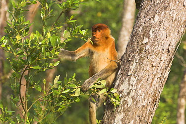 Proboscis Monkey (Nasalis larvatus) young male in mangroves, Bako National Park, Sarawak, Borneo, Malaysia  -  Nick Garbutt/ npl