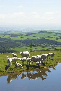 Domestic Sheep (Ovis aries)Sheep on Exmoor resting next to drinking pool, Somerset, United Kingdom  -  Gary K. Smith/ npl