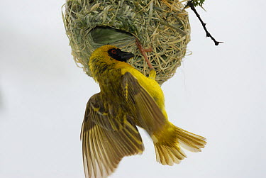 Masked-Weaver (Ploceus velatus) at nest entrance, Kgalagadi Transfrontier Park, Kalahari desert, South Africa  -  Jouan & Rius/ npl