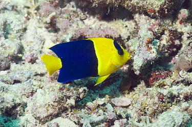 Blue And Gold Angelfish (Centropyge bicolor) on corals, Papua New Guinea  -  Georgette Douwma/ npl