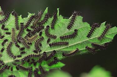 Map Butterfly (Araschnia levana) caterpillars feeding on nettle Sequence, life cycle  -  Hans Christoph Kappel/ npl