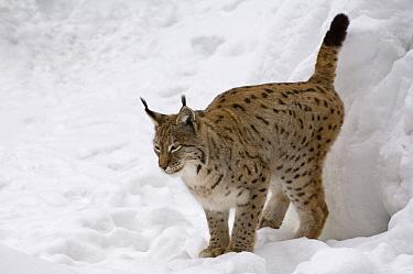 Eurasian Lynx (Lynx lynx) female marking territory with urine, captive, Bavarian Forest, Germany  -  Philippe Clement/ npl