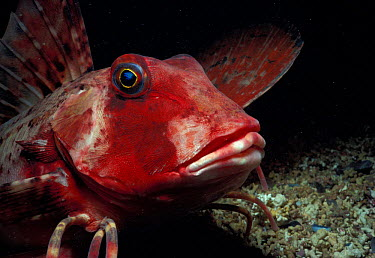 Tub Gurnard (Trigla lucerna) 'walking' along ocean bottom France, Atlantic Ocean  -  Jeff Rotman/ npl