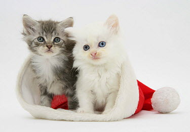 Domestic Cat (Felis catus)White kitten and tabby kitten in a Father Christmas hat  -  Mark Taylor/ npl