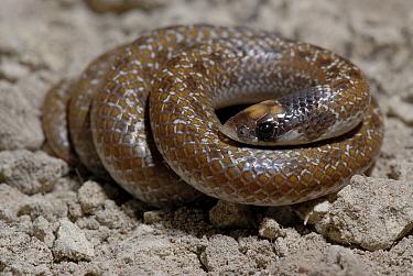 Shovel-snout Snake (Prosyma sundevalli) DeHoop Nature reserve, Western Cape, South Africa  -  Tony Phelps/ npl