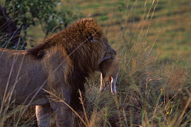 African Lion (Panthera leo) male carrying baby in mouth, East Africa  -  Anup Shah/ npl
