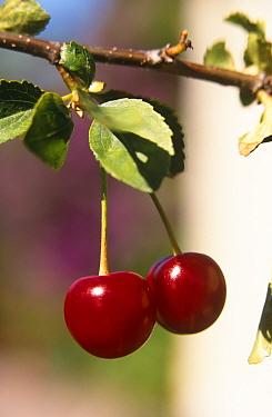 Cherries on Cherry tree (Prunus cerasus) Sweden  -  Bjorn Forsberg/ npl
