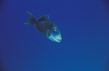 Yellowmargin triggerfish (Pseudobalistes flavimarginatus) Papua New Guinea  -  Jurgen Freund/ npl