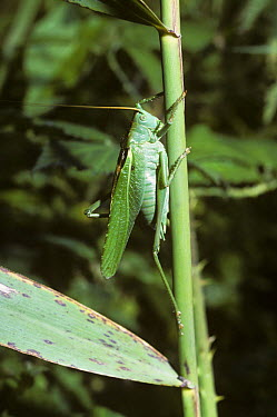 Great Green Bush Cricket (Tettigonia viridissima) male in calling position with leg raised for stridulation, United Kingdom  -  Premaphotos/ npl