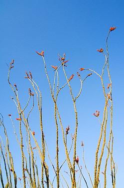 Ocotillo (Fouquieria splendens) in flower Organ Pipe Cactus National Monument, Arizona  -  Philippe Clement/ npl
