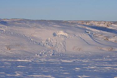 Polar Bear (Ursus maritimus) tracks in snow digging for a good denning spot, Coastal plain of the Arctic National Wildlife Refuge, Alaska  -  Steven Kazlowski/ npl
