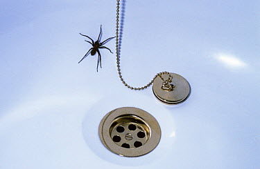 Cobweb spider female (Tegenaria duellica) trapped in a bath having fallen into it, UK  -  Premaphotos/ npl