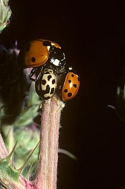 7-spot ladybird (Coccinella 7-punctata), 10-spot ladybird (Adalia 10-punctata) (left) and 14-spot ladybird (Propylea 14-punctata) (right) feeding on sap from a cut thistle stem, UK  -  Premaphotos/ npl