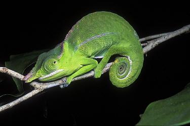 Petter's Chameleon (Furcifer petteri) on branch, Ankarana Special Reserve, Madagascar  -  Jouan & Rius/ npl