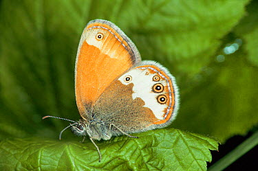 Pearly Heath Butterfly (Coenonympha arcania) captive, Germany  -  Hans Christoph Kappel/ npl